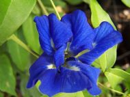 Blue Butterfly Pea Vine 5 Seeds - Double Blue Blloms,Fast Growing, Impressive